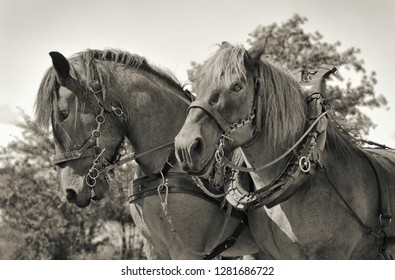 two workhorses in black and white