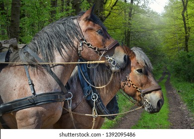 two workhorses in the forest with path