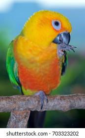 Two year old female Jenday Conure, Aratinga jandaya, a parakeet from South America.