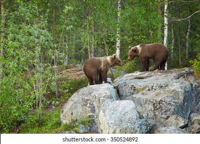 Two years old Brown Bear cubs on rocks waiting for return of  mother bear. Deep  arctic european forest in background, lit by early morning colorful light .