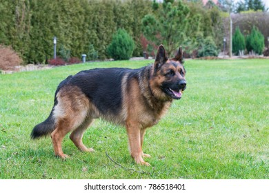 Two years old purebred German Shepherd Dog male in garden grass