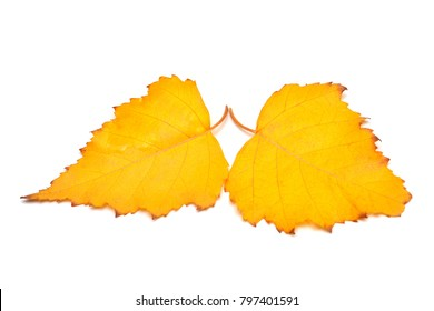 Two yellow autumn birch leaves isolated on white background. Leaf. Flat lay, top view