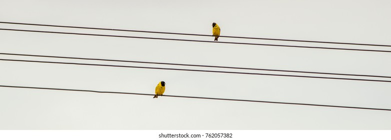 two yellow birds perched on cable, panoramic