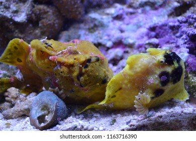 Two yellow Blowfish on the seabed look awesome