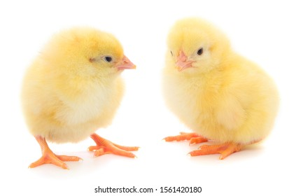 Two yellow chicken isolated on white background.