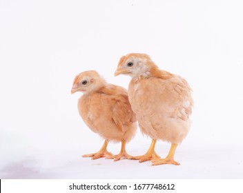 Two yellow chicks on the floor