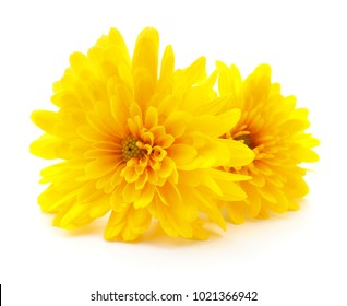 Two yellow chrysanthemums isolated on white background.