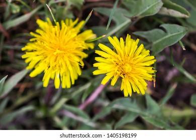 Two yellow dandellion flowers in summer park