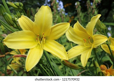 Two yellow daylily (Hemerocallis) flowers with a background of flowers and leaves of other daylilies.