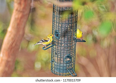 Two Yellow Finch birds on a feeder