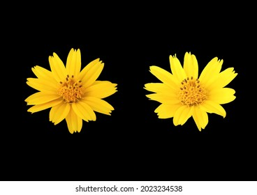 Two yellow flower blossom blooming isloated on black background for design or stockphoto, summer of flora, top viewl, chrysanthemum plants