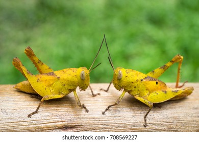 Two Yellow Grasshoppers on a log with green blurry background.