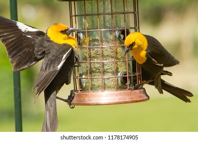 Two yellow headed blackbirds at a bird feeder.  It is a medium-sized blackbird, and the only member of the genus Xanthocephalus.