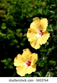 Two yellow Hibiscus flowers stand among greenery