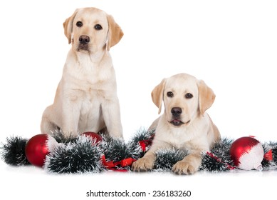 two yellow labrador retriever dogs