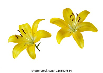 Yellow flower images stock photos vectors shutterstock two yellow lilies isolated on white background yellow lily flower mightylinksfo
