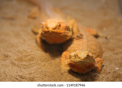 two yellow pogona on the sand