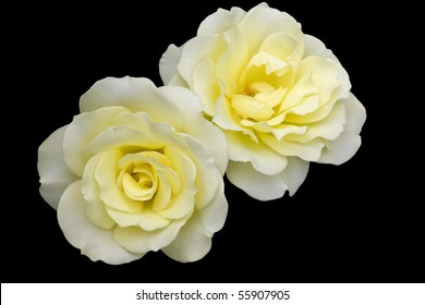 Two Yellow Roses against a black background