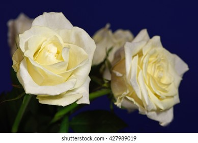 Two yellow roses against a blue background