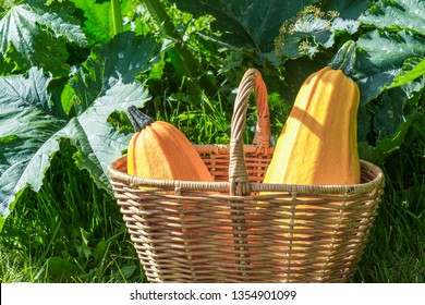 Two yellow zucchini in a basket, ripe zucchini in a garden, agriculture and healthy eating concept