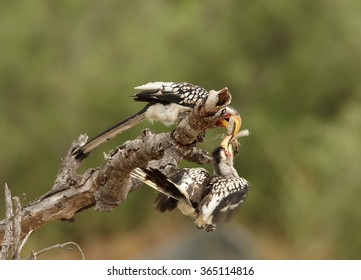 Two Yellow-billed hornbill Tockus flavirostris, adult feeds juvenile with large insect, perched on dead tree in eye level. Spotted feather, soft light, green blurred background, South Africa.