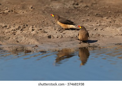 Two Yellow-billed oxpeckers Buphagus africanus, ticks eating african birds,on the banks of the waterhole, mirroring in the water.