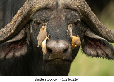 Two yellow-billed oxpeckers on Cape buffalo head