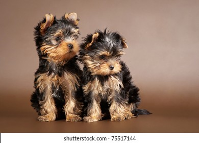 Two yorkie puppies on brown background