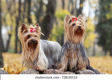 two yorkies in the gold autumn.