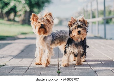 Two Yorkshire terrier dogs on the walk