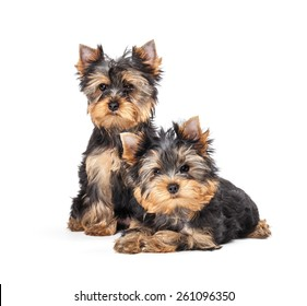 Two Yorkshire Terrier puppies isolated on white background