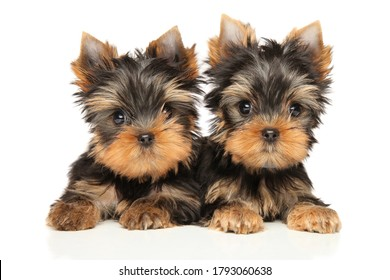 Two Yorkshire Terrier Puppies lie and look at the camera on a white background