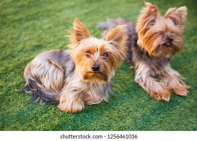Two yorkshire terriers sitting on the grass in the garden.