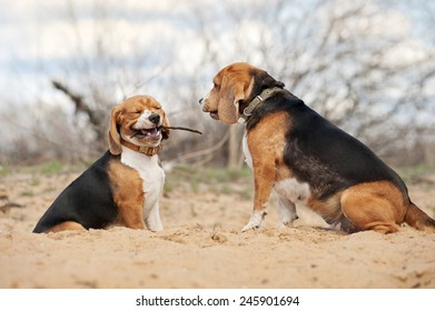 Two youang beagle dogs together in spring