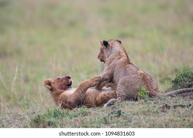 Two youn lions playing and fighting in a savannah in Masai Mara Game Preserve, Kenya.