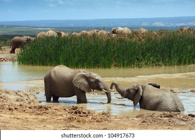 Two young African elephants bathing in a water hole, Addo Elephant National Park near Port Elizabeth, South Africa.