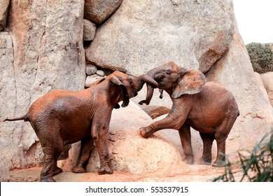 Two young African forest elephants playing. Two African Elephants at the zoo are place huge rocks.