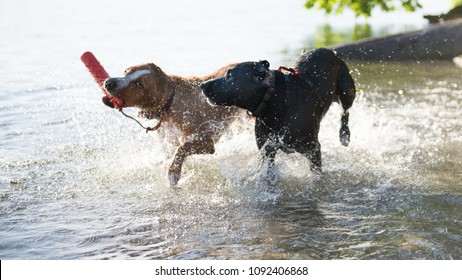 Two Young Athletic Dogs Playing in Water with Orange Float Toy