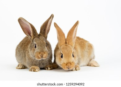 Two young baby Flemish Giant rabbits, natural grey and sandy colour, isolated on white background
