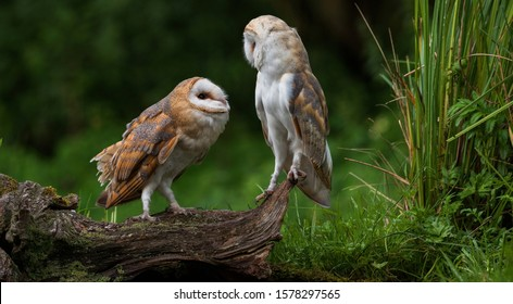 Two young barn owls sitting