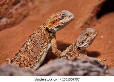 Two young bearded dragons close up in its terrarium