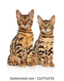 Two young Bengal kitten posing on white background. Animal themes