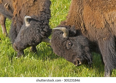 Two young Bison males play at fighting.