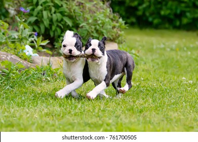 Two young Boston Terrier dogs, also called Boston Bulls, puppies, black with white markings, running side by side, carrying a stick together.