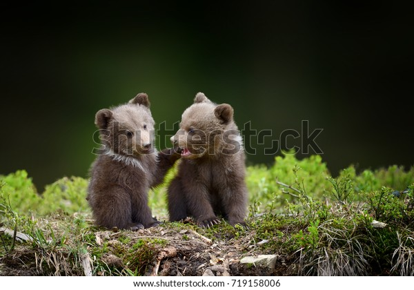 Two young brown bear cub in the forest. Portrait of brown bear, animal in the nature habitat. Wildlife scene from Europe. Cub of brown bear without mother.