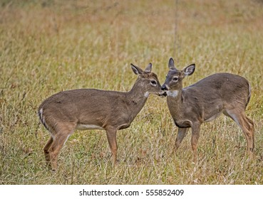 Two young bucks playing nose to nose.