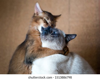 two young cats , Thai Shorthair seal point Bobtail and red fluffy Somali breed