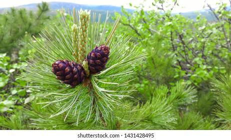 Two young cedar cones in the elfin wood, cone covered with resin on a cedar branch in the forest.