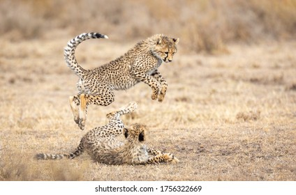 Two young Cheetah cubs playing  in dry grassy area in Ndutu Tanzania