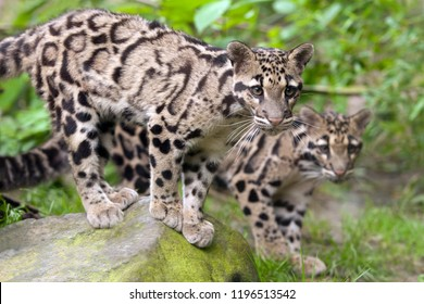 Two young clouded leopards standing side by side on a stone in Taman Negara National Park. Mainland clouded leopard in wild nature of Malaysia on the background of dense vegetation. Neofelis nebulosa